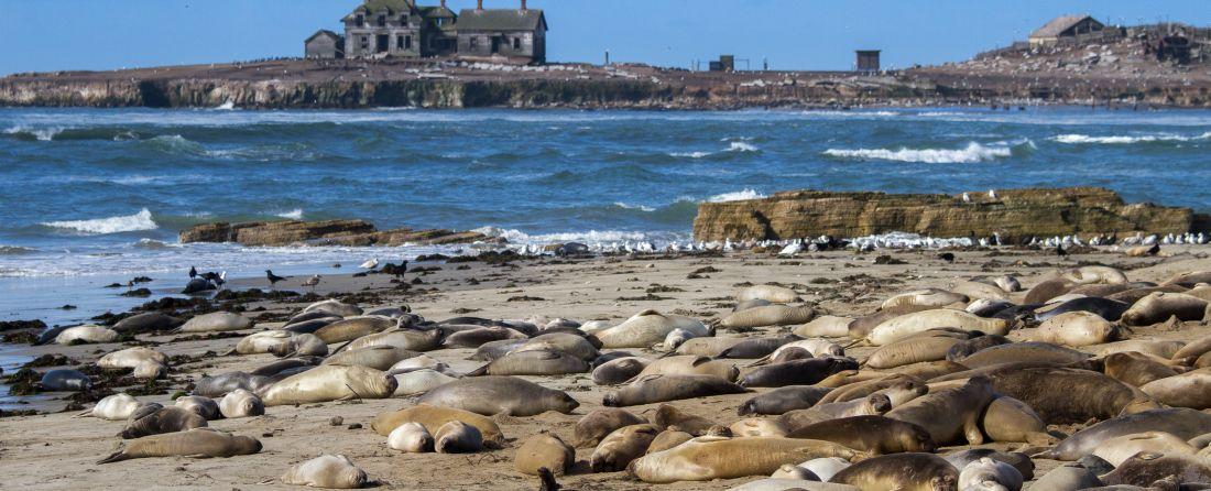 ביקור אצל פילי הים בשמורת הטבע אנו נואבו (Año Nuevo)