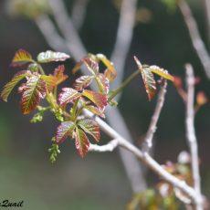 לא נעים להכיר: האוג הארסי (Pacific Poison Oak)